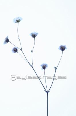 押し花かすみ草の写真イラスト素材 写真素材ストックフォトの
