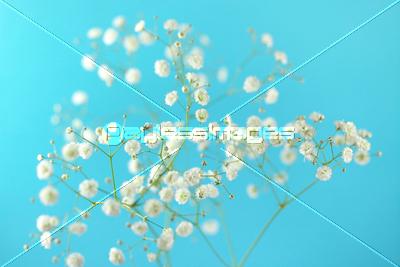 カスミソウの写真イラスト素材 Xf1835031705 ペイレスイメージズ